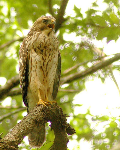 Red-Shouldered Hawk, edited