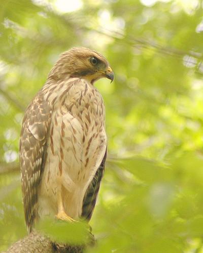 Red-Shouldered Hawk, edited