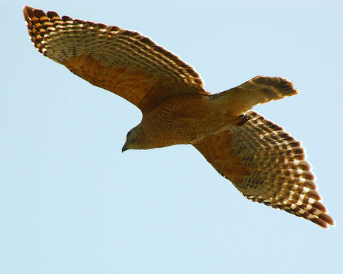 Red-shouldered Hawk, In Flight