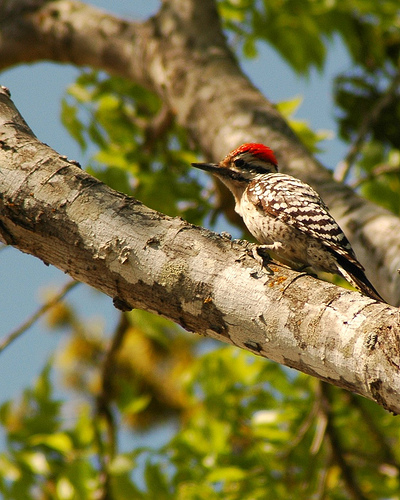 Ladder-back Woodpecker (male)